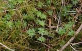 Rosmossa (Rhodobryum roseum)