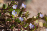 Murgrönsveronika (Veronica hederifolia)