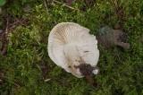 Såpmusseron (Tricholoma saponaceum)