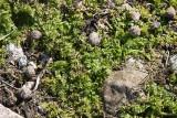 Taggkörvel (Anthriscus caucalis)