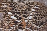 Eurasian Capercaillie (Tetrao urogallus)