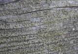 Sydlig ladlav (Cyphelium notarisii)