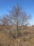 Balkanoxel (Sorbus graeca)
