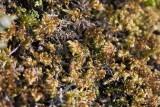 Kalkkammossa (Ctenidium molluscum)