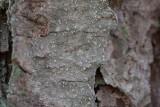 Gammelgranslav (Lecanactis abietina)