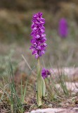 Sankt Pers nycklar (Orchis mascula)