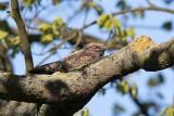 Eurasian Nightjar (Caprimulgus europaeus)