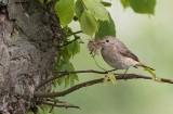 Common Redstart (Phoenicurus phoenicurus)
