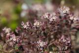 Stenkrassing (Hornungia petraea)