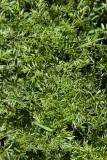 Jordkastanj (Bunium bulbocastanum)