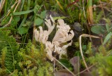 Anisfingersvamp (Ramaria gracilis)