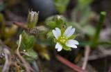 Östkustarv (Cerastium subtetrandrum)
