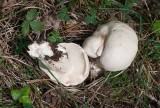 Vårmusseron (Calocybe gambosa)