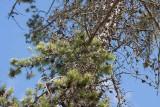 Contortatall (Pinus contorta)