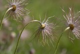 Backsippa (Pulsatilla vulgaris)