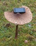 Stolt fjällskivling (Macrolepiota procera)