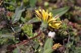 Rubinmaskros (Taraxacum rubicundum)