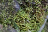 Liten räffelmossa (Aulacomnium androgynum)