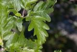 Finnoxel (Sorbus hybrida)
