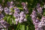 Syren (Syringa vulgaris)
