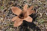 Läderboll (Mycenastrum corium)