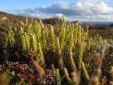 Nordlummer (Lycopodium annotinum ssp. alpestre)