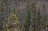 Common Greenshank (Tringa nebularia)