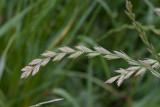 Engelskt rajgräs (Lolium perenne)