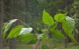 Amerikanskt häggkörsbär (Prunus pensylvanica)