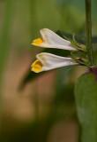 Ängskovall (Melampyrum pratense)