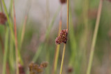 Knapptåg (Juncus conglomeratus)