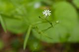 Skogsstjärnblomma (Stellaria longifolia)