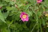 Kanelros (Rosa majalis)