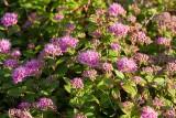 Rosenspirea (Spiraea japonica 'Anthony Waterer')