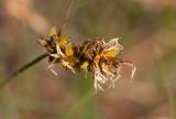 Sandstarr (Carex arenaria)