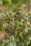 Sandvide (Salix repens ssp. repens var. argentea)