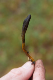 Smal svampklubba (Cordyceps ophioglossoides)
