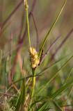 Grusstarr (Carex hirta)