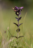 Svarthö (Bartsia alpina)
