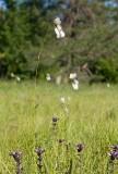 Gräsull (Eriophorum latifolium)