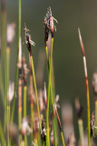 Axag (Schoenus ferrugineus)