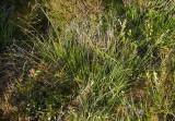 Tuvsäv (Trichophorum cespitosum)