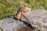 Stornopping (Entoloma griseocyaneum)