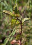 Strandmynta (Mentha aquatica ssp. litoralis)