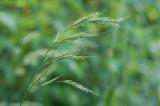 Strävlosta (Bromopsis benekenii)