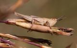 Strandängsgräshoppa (Chorthippus albomarginatus)
