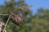 Vass (Phragmites australis)