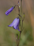 Liten blåklocka (Campanula rotundifolia)