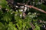 Mellanhäxört (Circaea × intermedia)