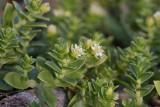 Saltarv (Honckenya peploides)